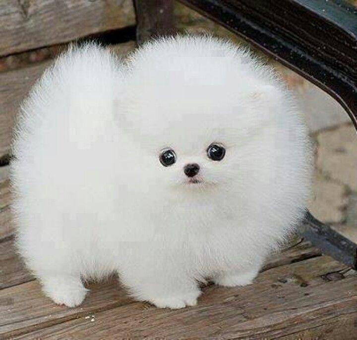White Puffy Dog Fluffy Dogs Fluffy Animals Baby Animals