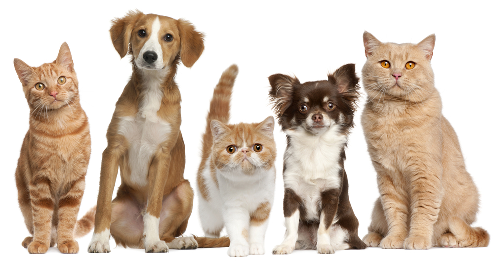 Group Cats Dogs Front White Background Pets Cat And Dog Photos Group Of Cats