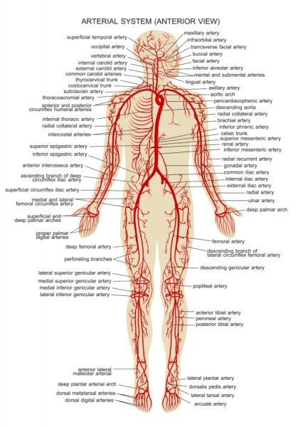 Human Arteries | Science & Nature | Pinterest | Medical, Med school ...