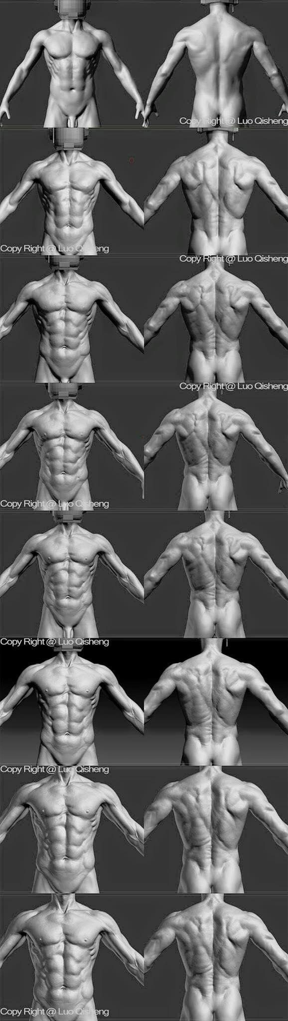 muscle   anotomia torzo   Pinterest   Anatomía, Torso masculino y ...