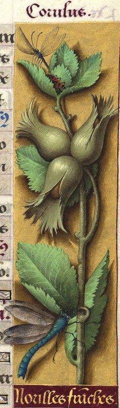 Norilles franches - Corulus (Corylus maxima Miller. = noisettes franches, cultivées) -- Grandes Heures d'Anne de Bretagne, BNF, Ms Latin 9474, 1503-1508, f°34r