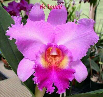 Pink Diamond Cattleya Orchids Klairvoyant Orchids Thrissur Kerala