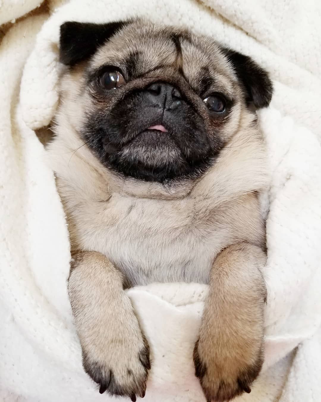 Funny Pugs Dogs Pets Cute Pugs Baby Pugs Cute Animal Pictures