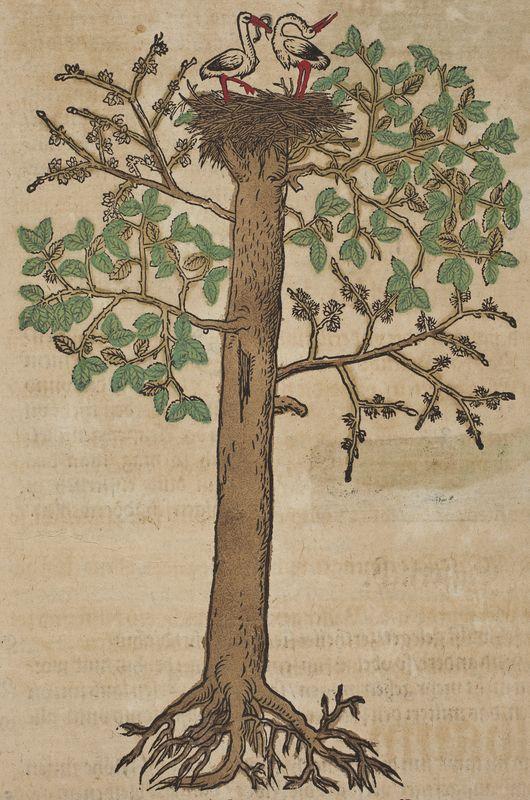 Elm tree Kreutterbuch, (Strassburg, 1580) Author: BOCK, Hieronymus (1498–1554)