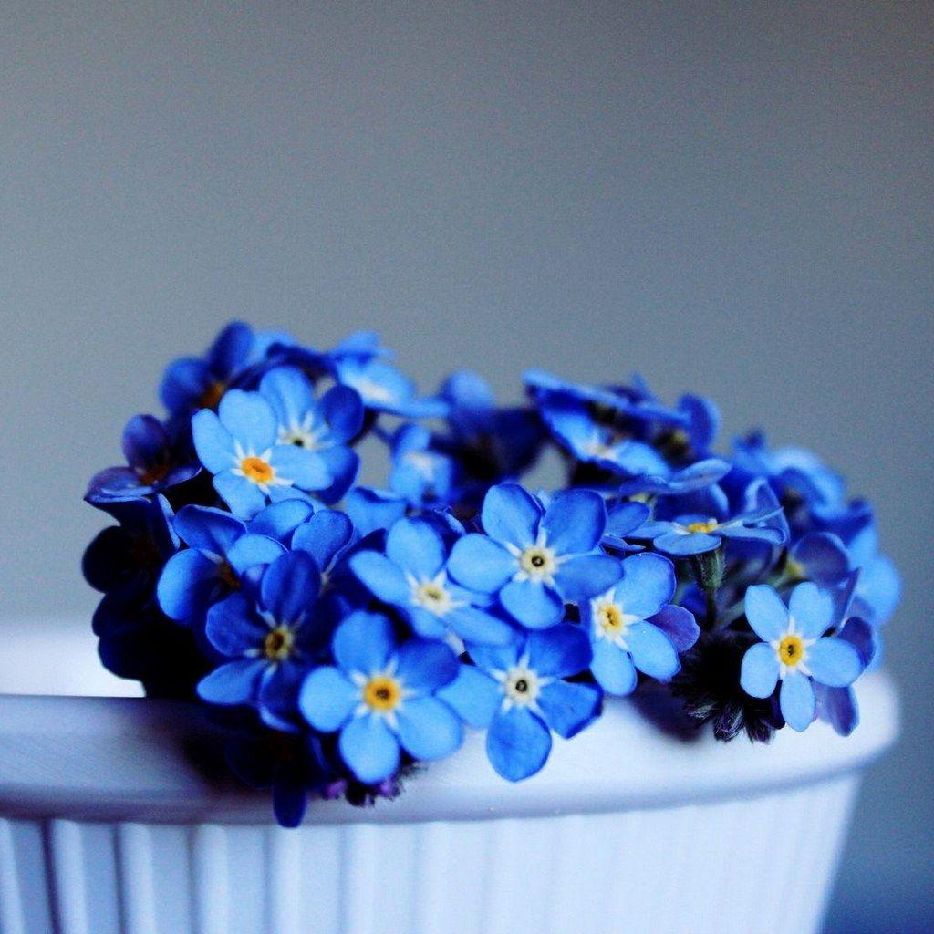 {Aesthetic Myosotis sylvatica} flowers