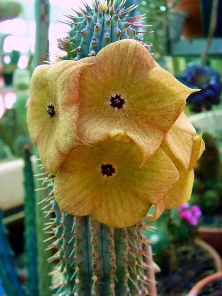 Hoodia Gordonii Cactus Y Suculentas Flores Exoticas Tipos De