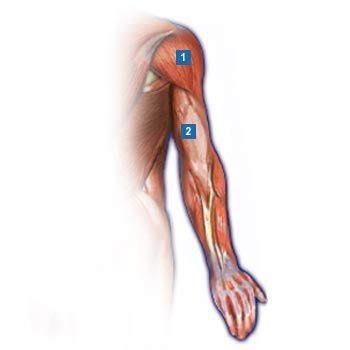 1.Deltamuskel (Musculus deltoideus) 2.dreiköpfiger Oberarmmuskel ...