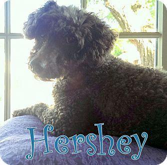New Jersey, NJ Poodle (Miniature). Meet Ocean NJ