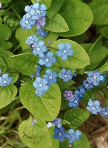 f r balkon und garten blaue blumen und pflanzen beetgestaltung pinterest vergissmeinnicht. Black Bedroom Furniture Sets. Home Design Ideas