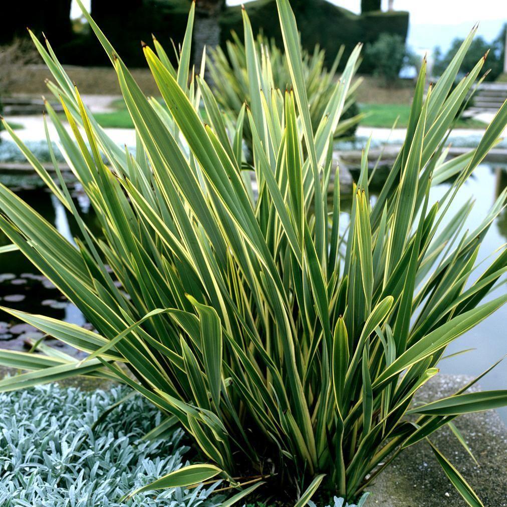 Plantes de grandes dimensions phormium tenax 39 variegatum for Grandes plantes vertes