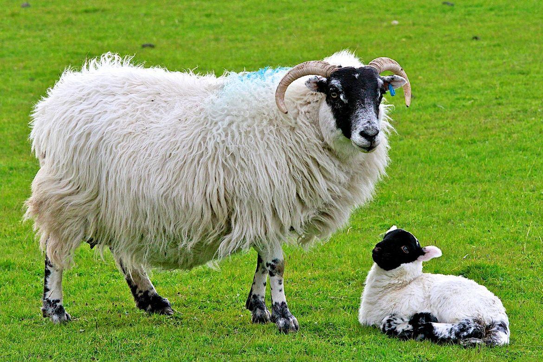 scottish sheep scottish blackface sheep 27 cool hd