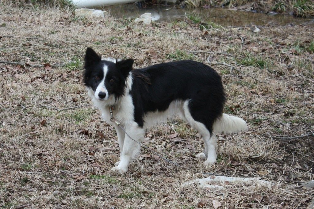 Derby C C Ranch Border Collies For Sale In Alabama With Images Border Collies For Sale Border Collie Collies For Sale