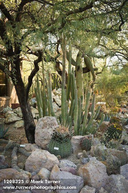 Thin Stemmed Senita Cactus W/ Barrel Cactus,Tucson Botanical Gardens, Tucson,  AZ