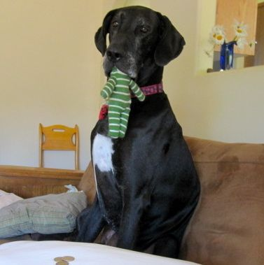 Sock Monkey Mouth Great Dane Animals Cute Animals Great Dane