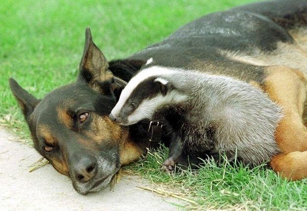 O German Shepherd–Doberman solitário agora tem um amigo inseparável - o guaximim !