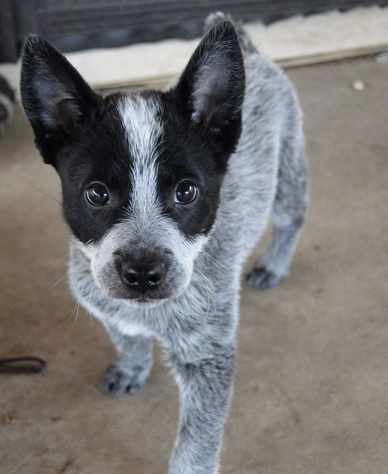 Blue Heeler Puppy Love My Ryder Baby Cattle Dog Puppy Heeler Puppies