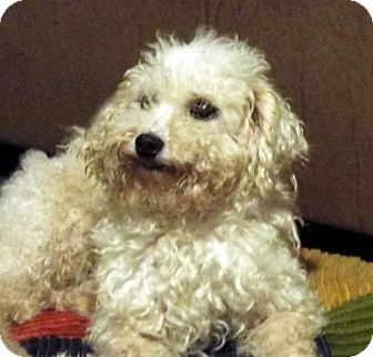 Conway Ar Poodle Miniature Meet Henry A Dog For Adoption