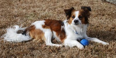 A Cavalier King Charles Spaniel And Papillon Cross I Saw One Of