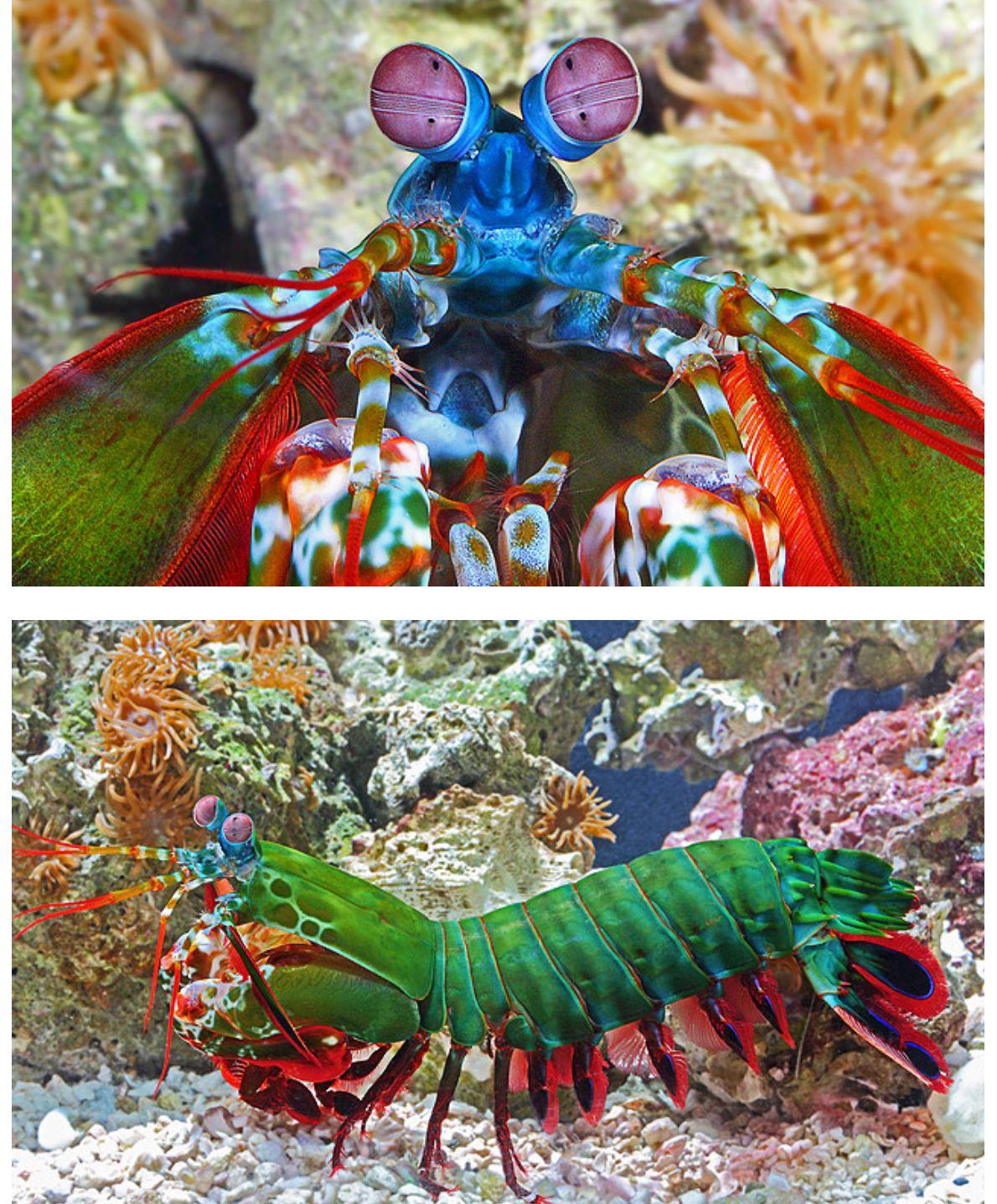 Peacock Mantis Shrimp Beautiful Sea Creatures Mantis Shrimp My Spirit Animal