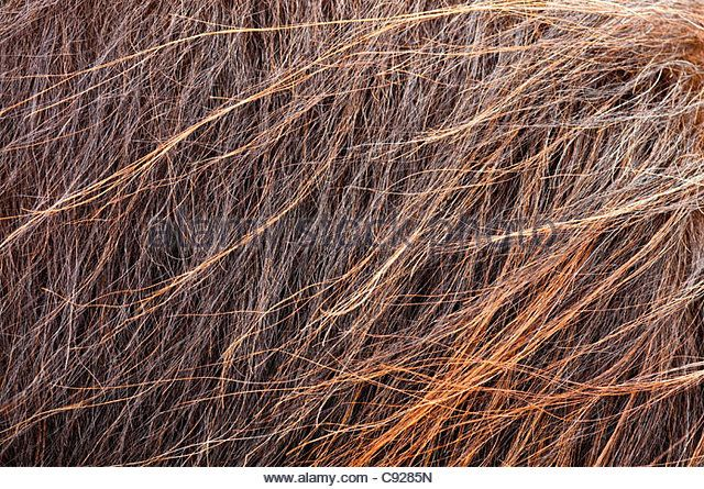 Close up of the bristled, multi-colored coat of a musk ox at the Musk Ox Farm near Palmer, Mat-Su Valley, Alaska. - Stock Image