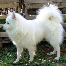 Grossspitz Weiss Hunde Rassen Hunderassen Und Hunde