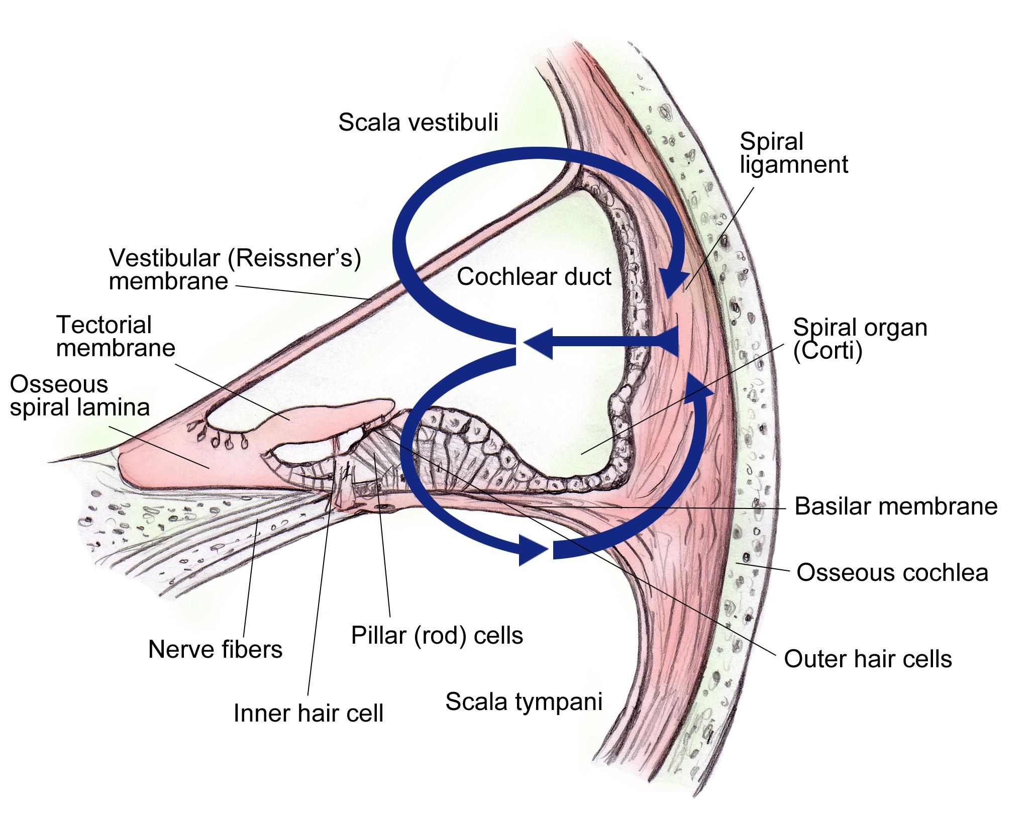 hight resolution of ear anatomy overview gross anatomy pathologic variants