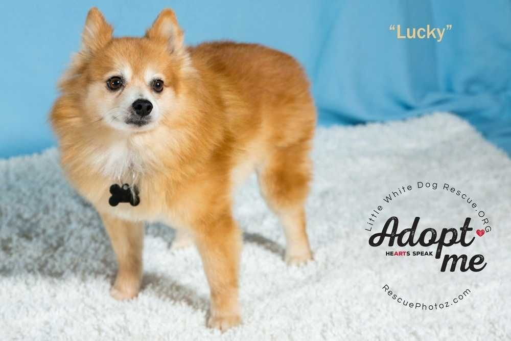 Adopt Pomeranian Lucky Pending Adoption 1 4 On Dogs