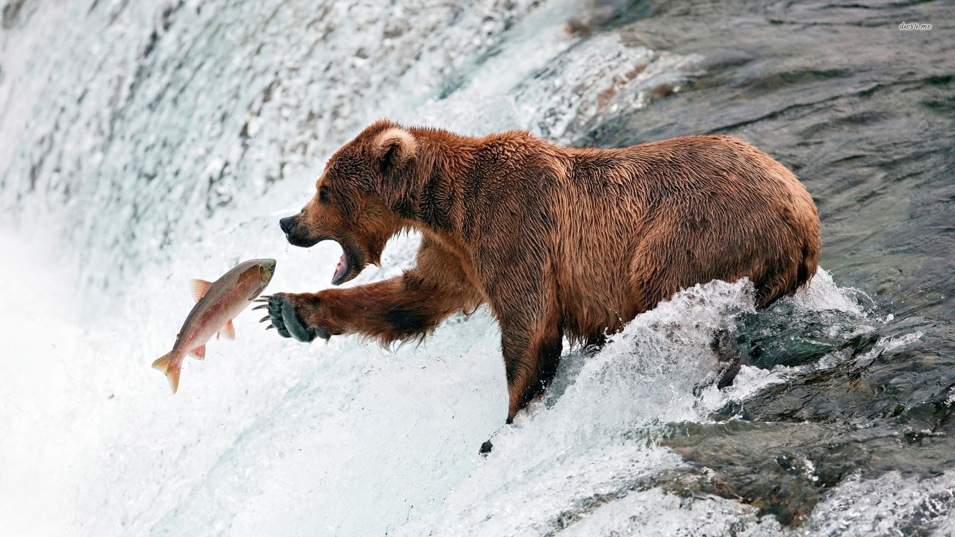 Brown bear fishing grizzly salmon pinterest brown for Snow bear ice fishing