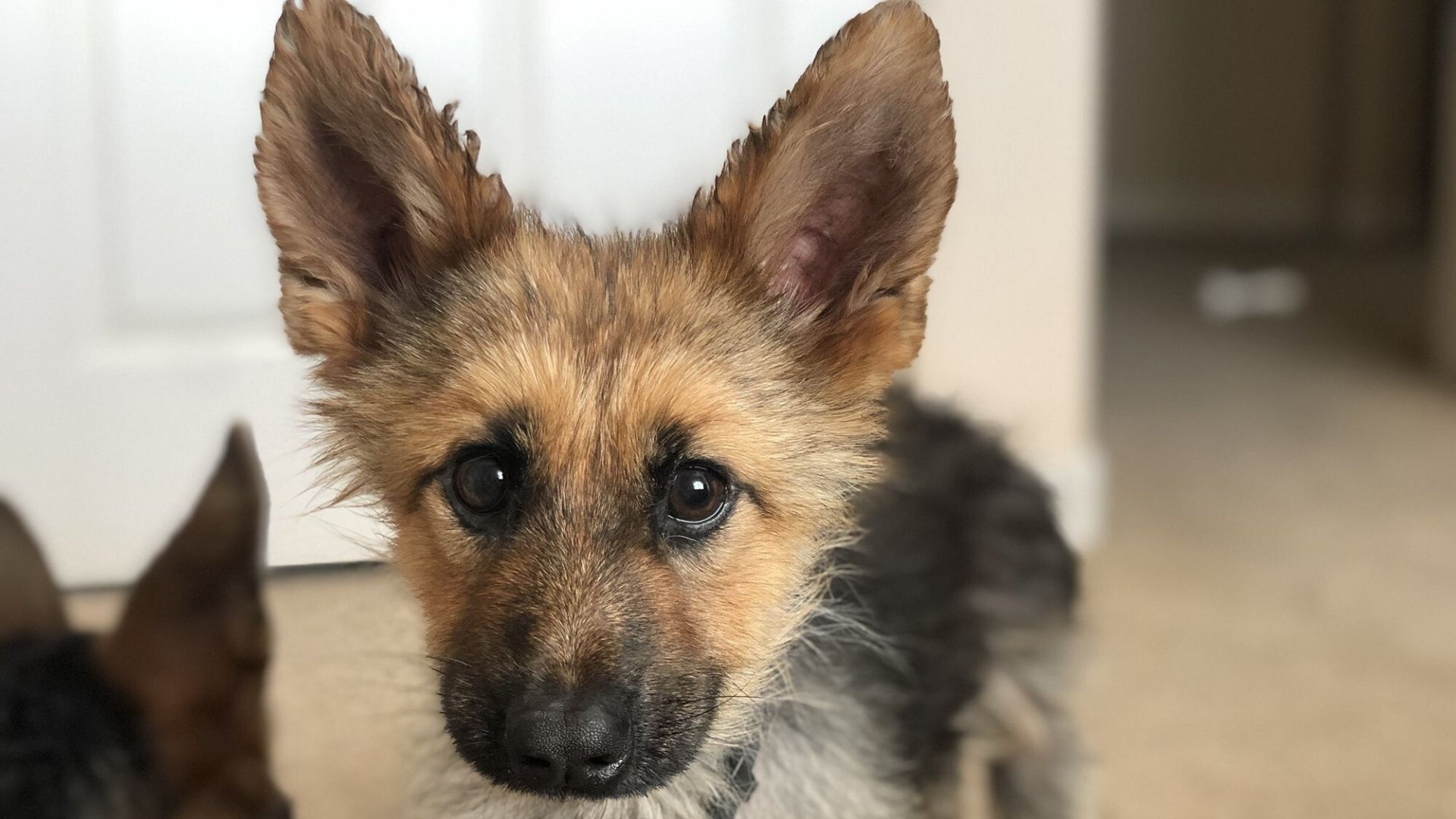 German Shepherd Who Will Look Like A Puppy Forever Goes Viral On