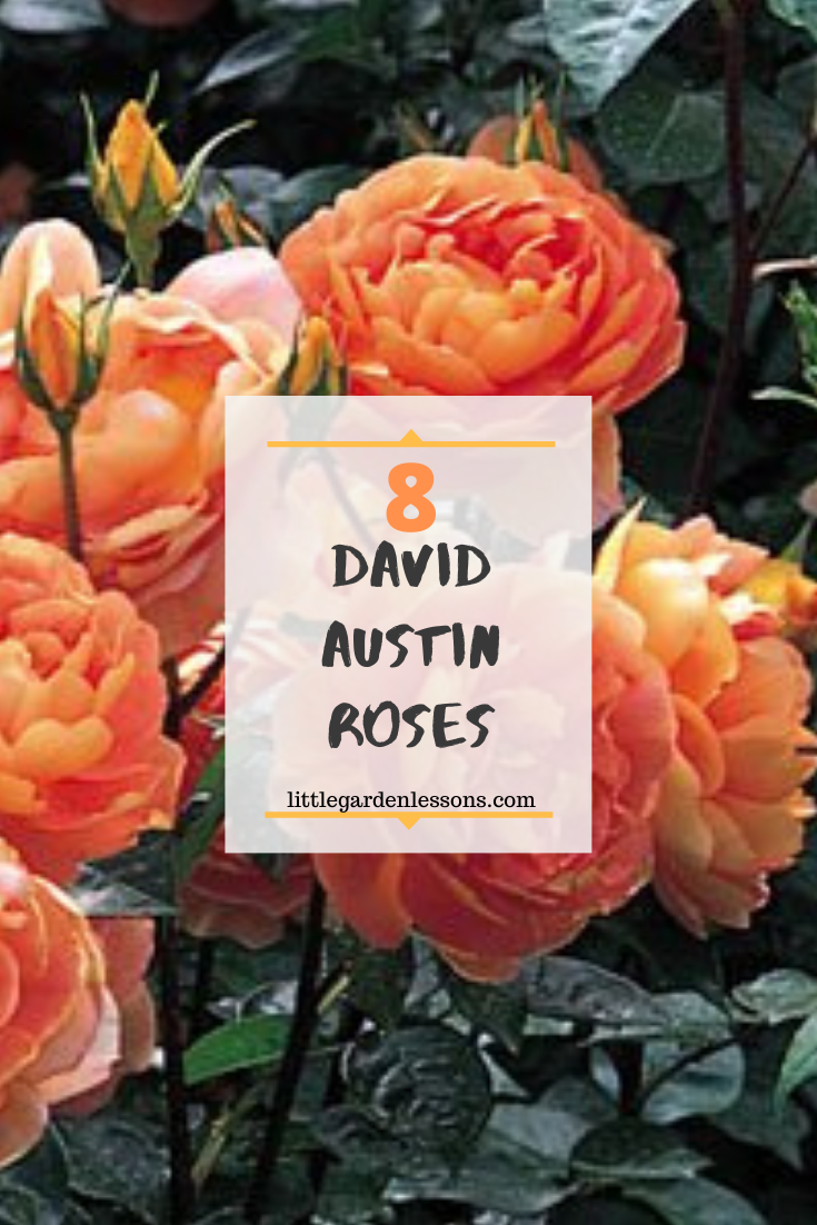 Looking for a new roses for your garden.  Here are 8 gorgeous and fragrant varieties from David Austin.  #roses #flowergarden