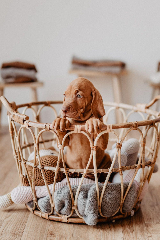 Magyar Vizsla Welpe Heinz In 2020 Vizsla Pups Honden Leuke Honden
