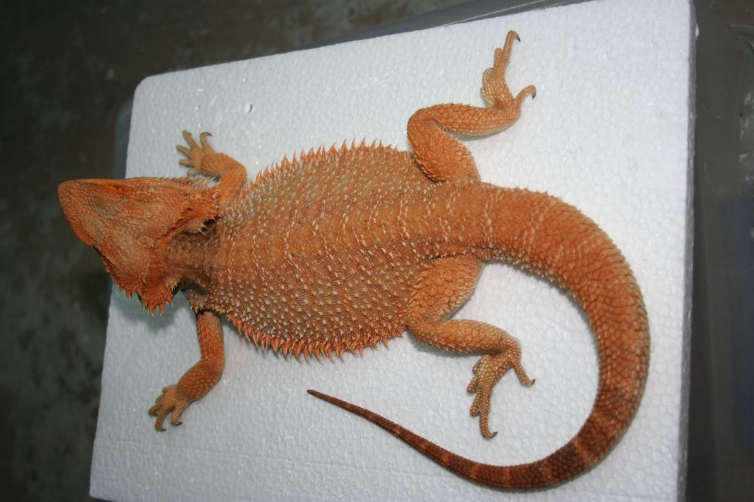 For Sale Adult Male 100% het Witblits - FaunaClassifieds | reptiles