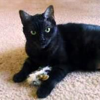 Proceeds From The Sale Of Black Cat Art Will Help Sesame Find A Home Meet Sesame A Domestic Shorthair Available For Adopti Black Cat Art Cat Art Cat Adoption