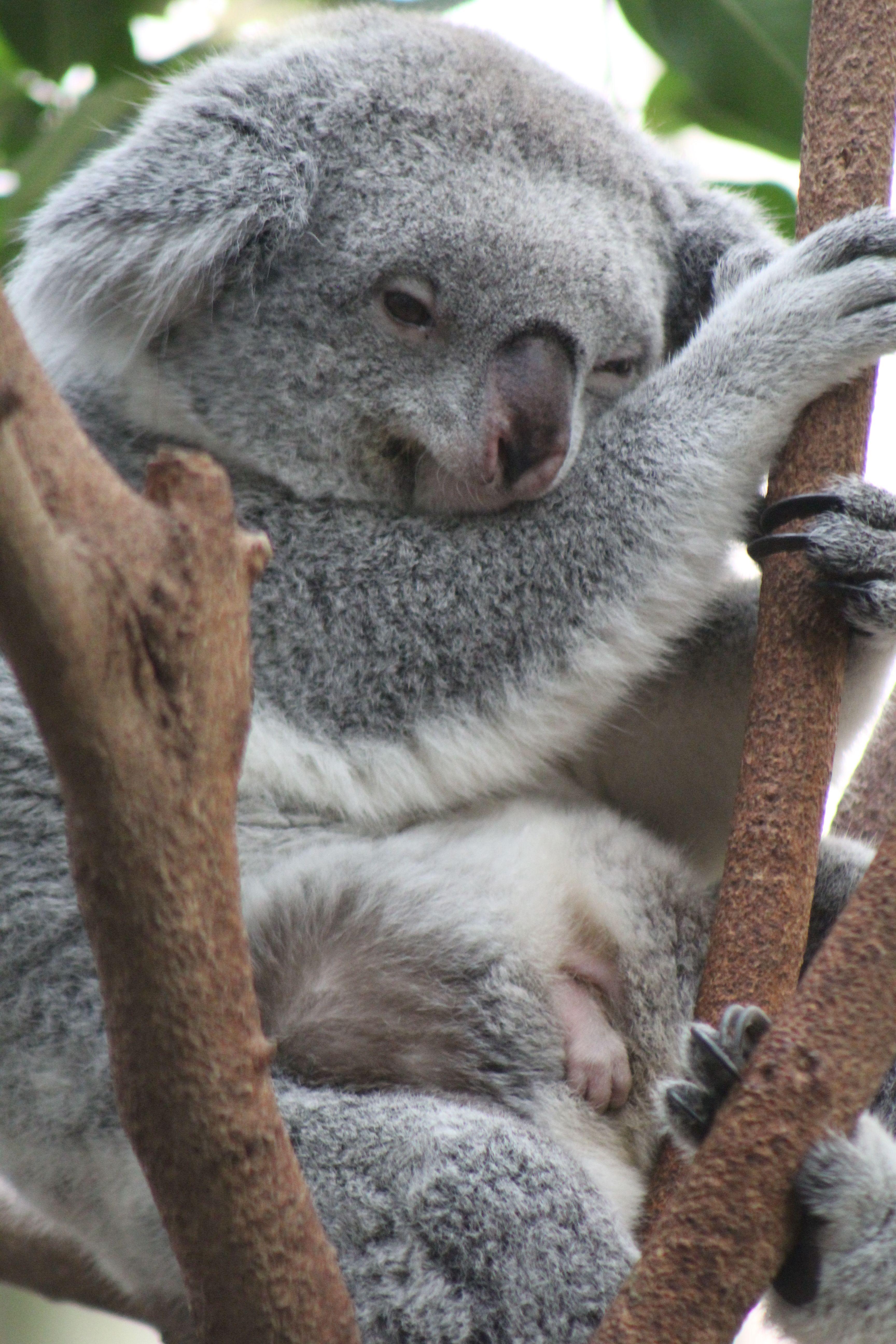 Duisburg (With images) Koala bear, Koala, Cute animals