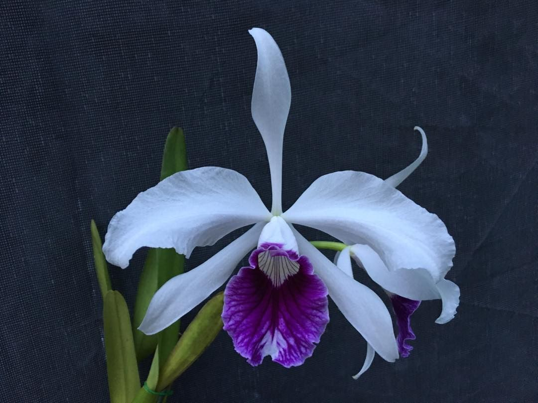 Chadwick Son Orchids Inc On Instagram One Of The Great Laelia Purpurata Varieties Schusteriana Cattleya Chadwickorchids Orchids Cattleya Instagram