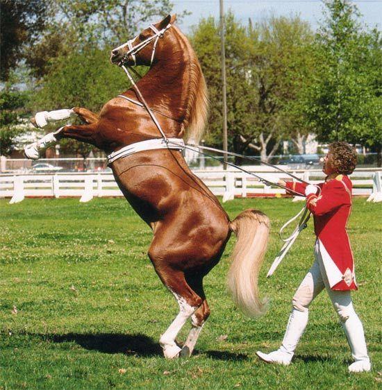 Cal Dorado - the golden dancing horse