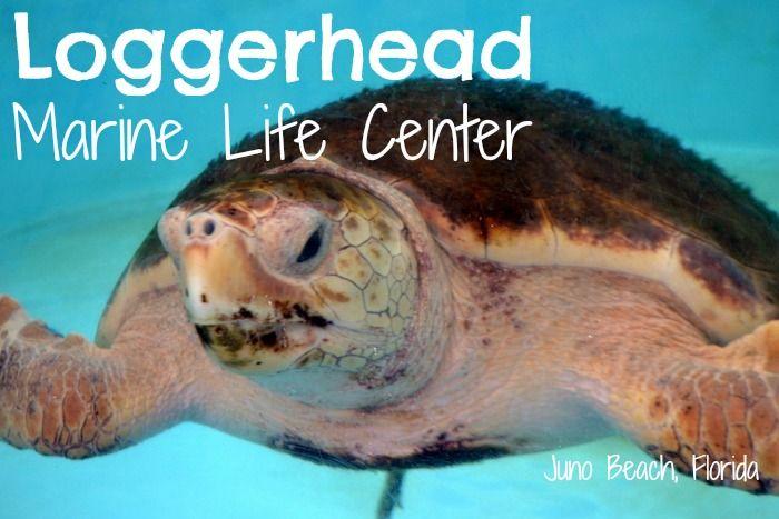 Visiting The Loggerhead Marine Life Center In Juno Beach Florida
