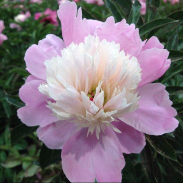 Peony at Costco  $12 99!   flowers   Custom web design, Flowers