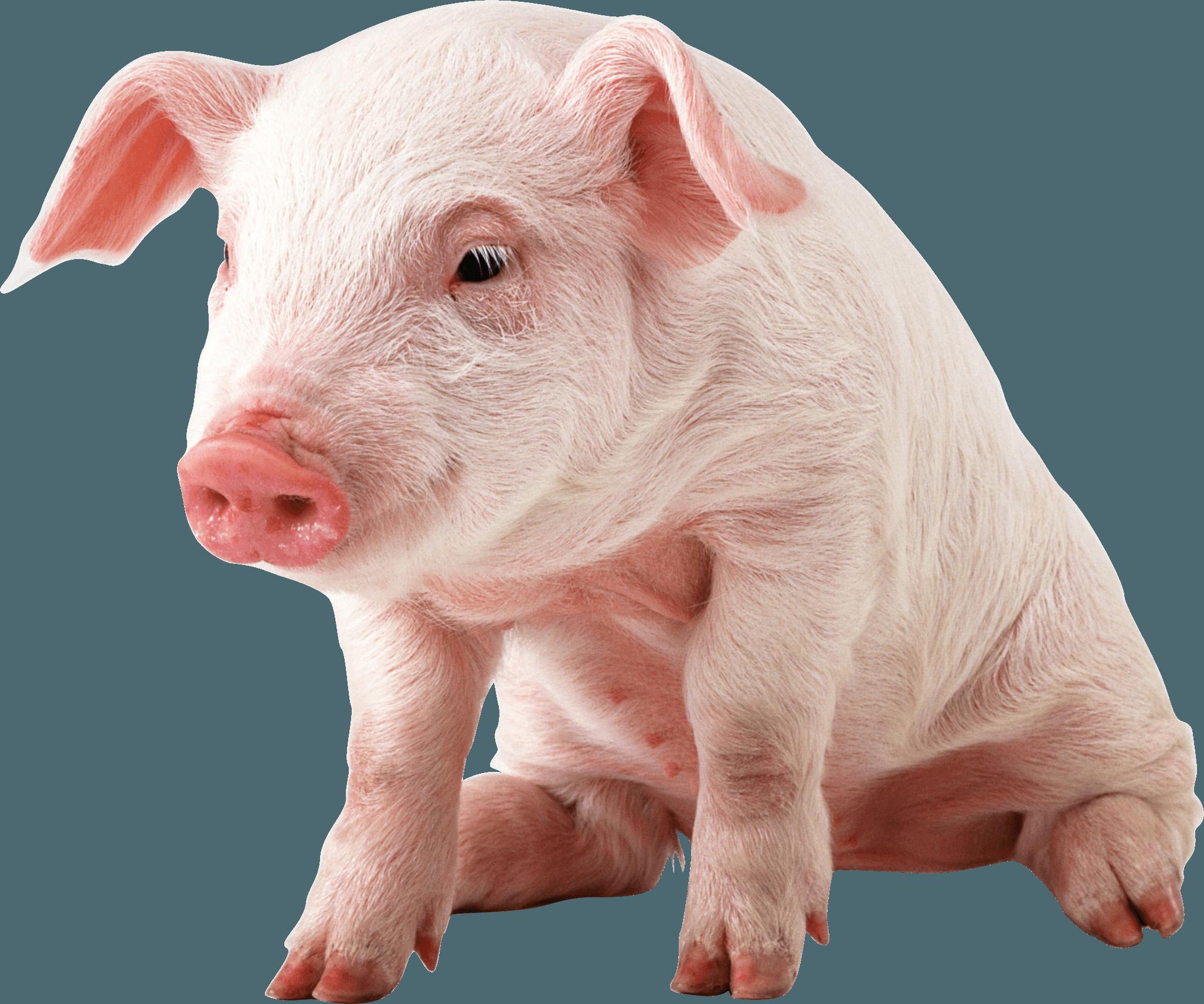 Sitting Baby Pig Png Image Baby Pigs Pet Pigs Pig Wallpaper