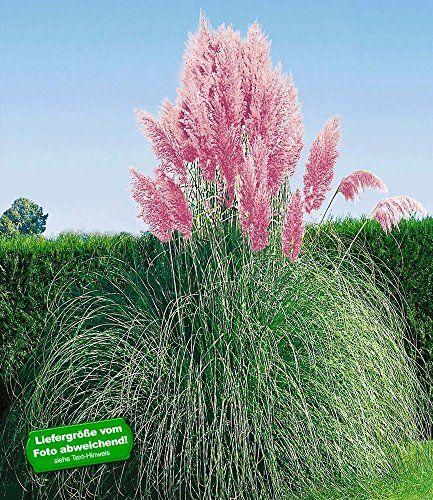 Perfect BALDUR Garten Rosa Pampasgras Pflanze Cortaderia