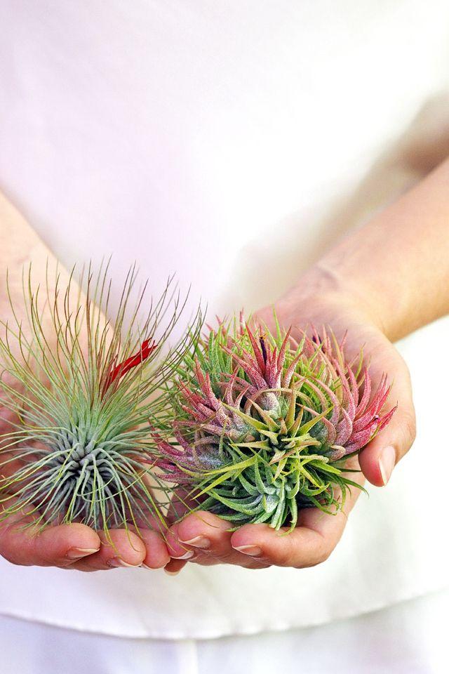 Einfache Tipps Zur Tillandsien-pflege Für Anfänger | Namen Blumen Tipps Pflege Von Zimmerpflanzen
