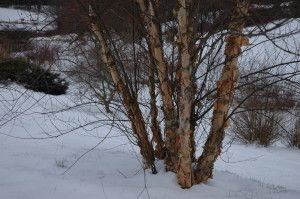 River birch in A Garden For All by Kathy Diemer http://agardenforall.com
