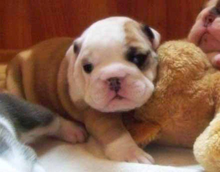 Miniature English Bulldog Puppies Miniature English Bulldog