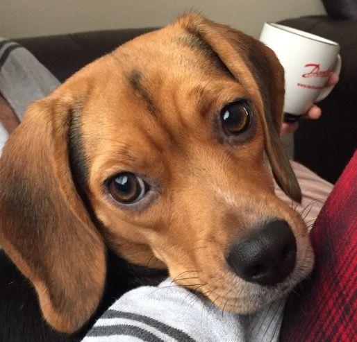 Beagle 🐶