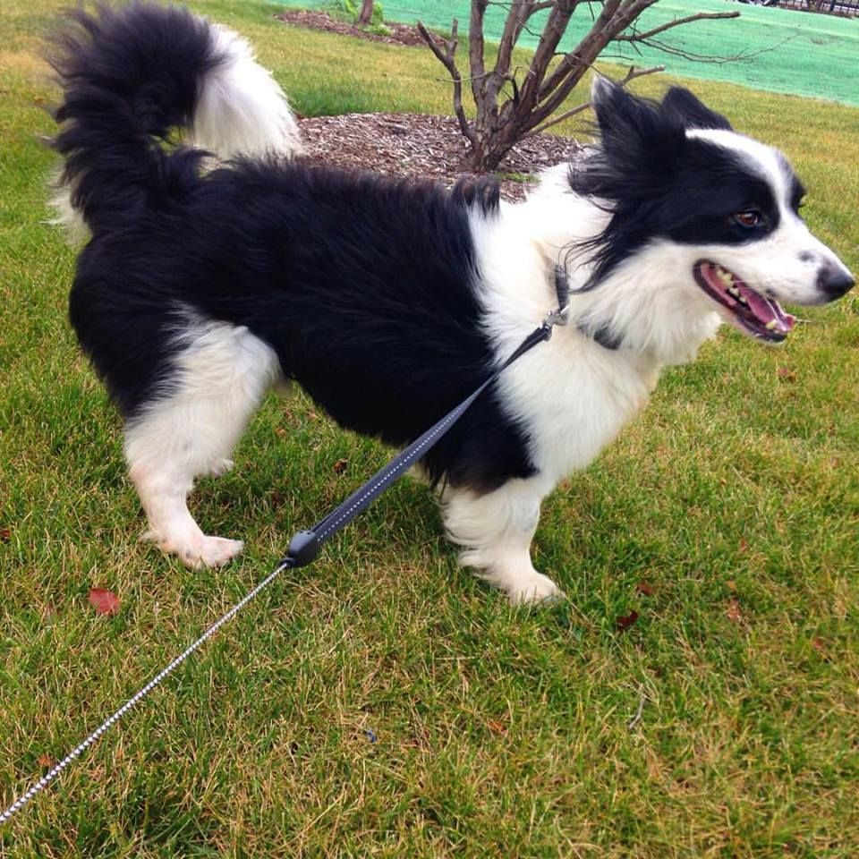 Benton The Borgie Border Collie Corgi Mix Border Collie Corgi