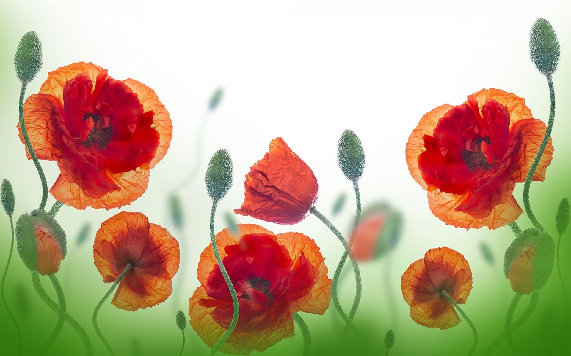 ᐈ Маки в поле: фото и картинки маки поле, скачать изображения на ...   1200x1920