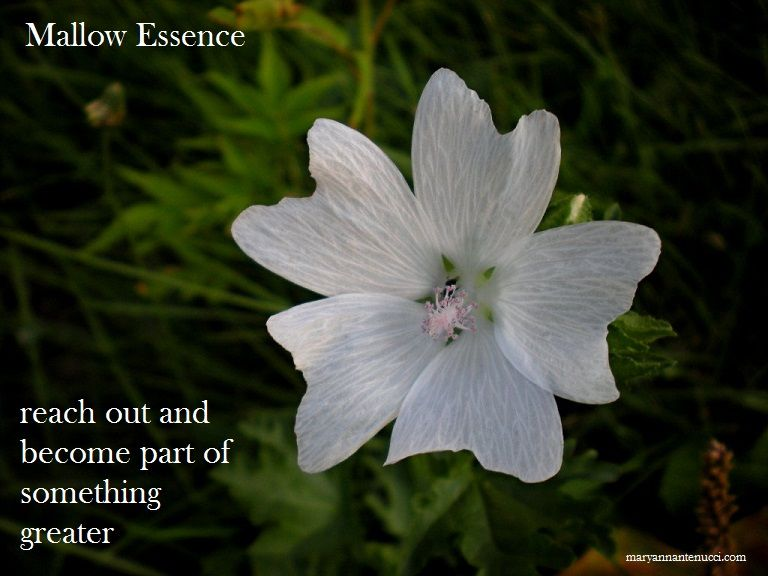 Mallow essence inspires us to reach out and become part of something greater. This is the social remedy that gives us the strength and confidence to fully participate as ourselves. We love the feeling of sharing our brilliance with open and warm hearts.