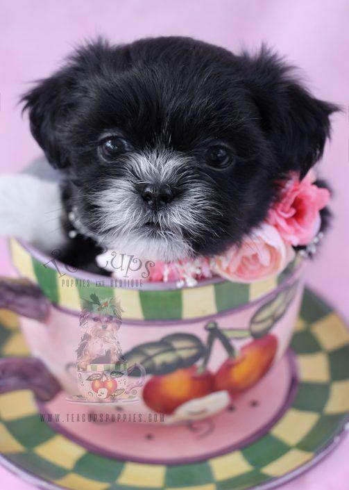 Shih Tzu Puppy For Sale 069 Puppies Shih Tzu Puppy