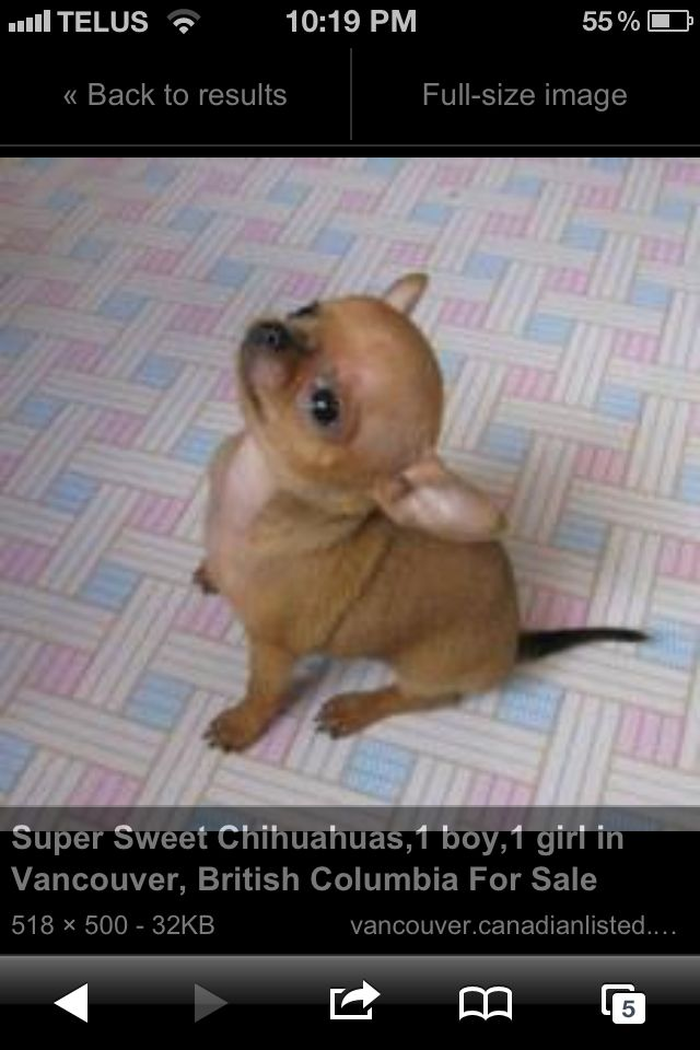 Sweet Chihuahua Kittens And Puppies
