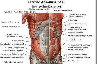 Abdominal Muscles Diagram Fill In Not Lossing Wiring Diagram